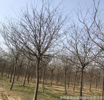 皂角 皂角树 皂荚 园林景观树 行道树 绿化工程 规格齐 价格低