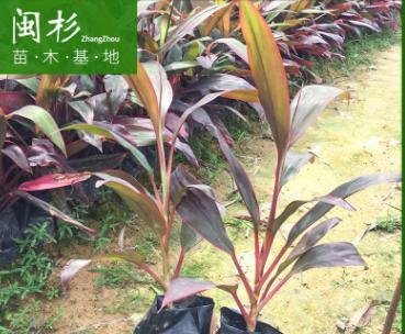 亮叶朱蕉行道庭院园林绿化景观工程苗木 厂家直销批发地被小袋苗