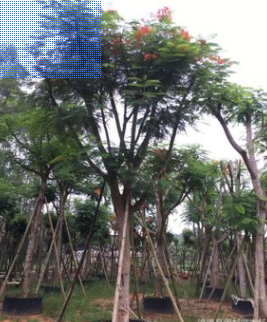 精品凤凰木,凤凰木移植苗袋苗基地供应 全冠凤凰木 精品红花楹