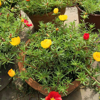 太阳花重瓣盆栽花苗植物宿根松开花不断不怕晒 叶牡丹 半支莲