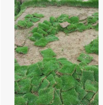 中华细叶结缕草坪、草坪养护、草坪绿化 仿真 绿化工程