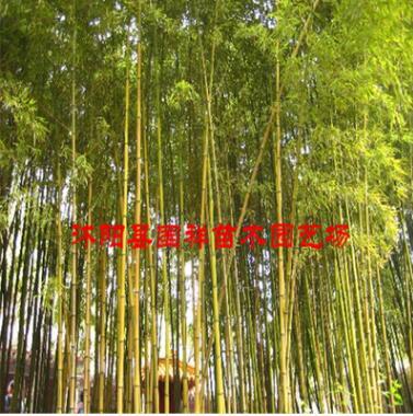 基地大量供应绿化观赏金镶玉竹