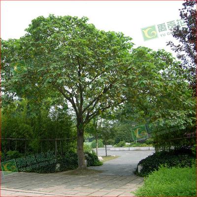 出售构树 丝棉木 直径20公分构树 5-30公分规格齐全
