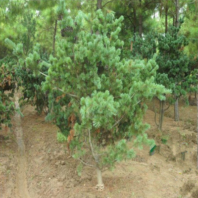 供应优质造型绿化风景树 五针松盆景 树形优美全冠栽培