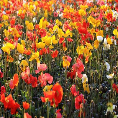 最新花卉种子 虞美人种子 二月兰 一串红等草花种子批发直销