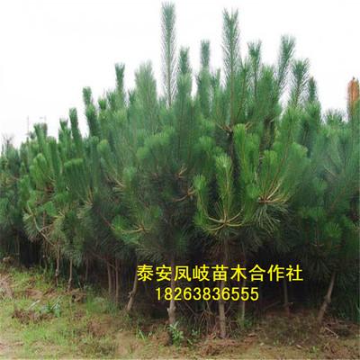 基地出售黑松树树黑松盆景 规格齐全四季常青 成活率极高价低