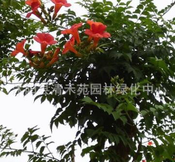 美国凌霄苗 基地直销 攀援植物 庭院别墅美化凌霄 爬藤速度快而密