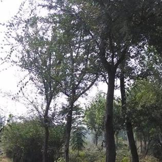 安徽蚌埠供应榔榆15-25公分