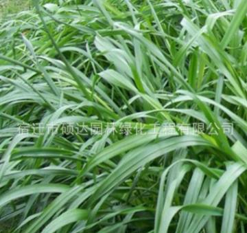 牧草种子批发多年生黑麦草种子草坪牲口草料植物易种植发芽率高