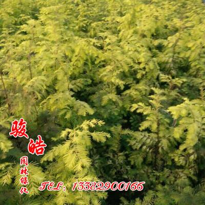 金叶水杉 新优质彩叶绿化苗木 金叶水杉 黄金水杉 两年生金水杉