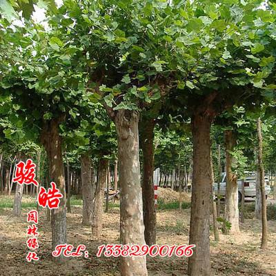绿化苗常年供应 苦楝树苗价格 地径3-8cm 净化空气 量大从优