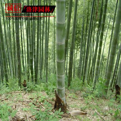 青竹苗 青皮竹子苗 四季常青 庭院绿化观赏 3厘米粗