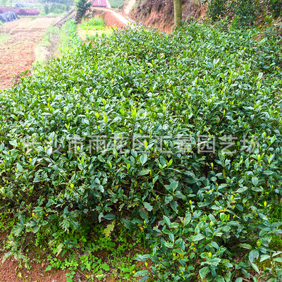 基地直供大叶栀子花苗 园林绿化工程苗木 常绿灌木桅子花球批发