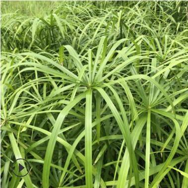 旱伞草 水生水培植物龟水竹盆栽 水池塘造景绿植风车草苗