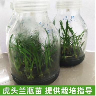广西凌云基地现货直供虎头兰瓶苗 绿色培育 根系强健