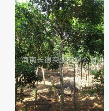 海南绿化苗木——九里香