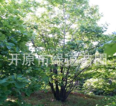 苗圃供应 丛生蒙古栎 精品单株蒙古栎10-30公分 橡树 柞树新报价