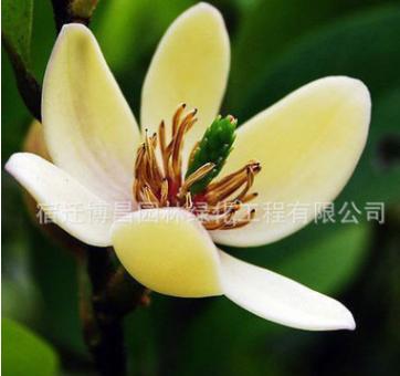 含笑苗批发工程绿化苗木庭院盆栽观赏花卉含笑小苗 净化空气