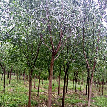 鸿安花木基地供优质 丝棉木 规格全 成活率高