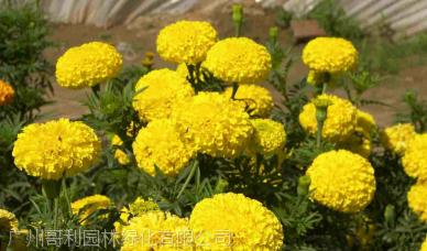 广州哥利万寿菊