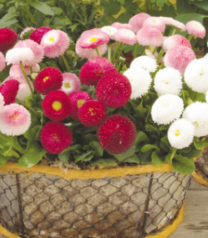 进口小雏菊种子四季幸福花籽阳台种绿植物盆栽易种花卉菊花种子