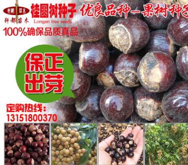 果树种子 桂圆龙眼 种子 果实多果粒大 耐寒品种 适合全国种植