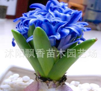 批发风信子种球 盆栽风信子多色可选大球 土种水培花卉