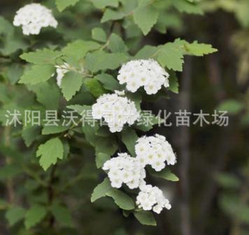 供应 麻叶绣线菊