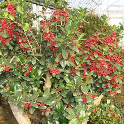 【大福源园林】供应各种苗木 种苗 基地直销 优质 红果冬青树苗
