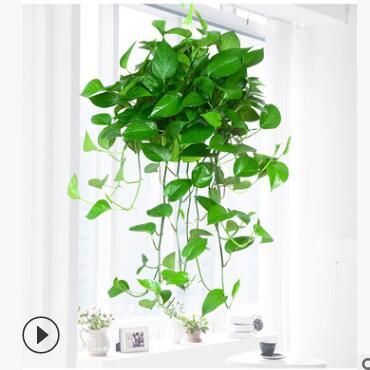 绿航绿萝长藤储水绿萝办公室内盆栽除去甲醛净化空气
