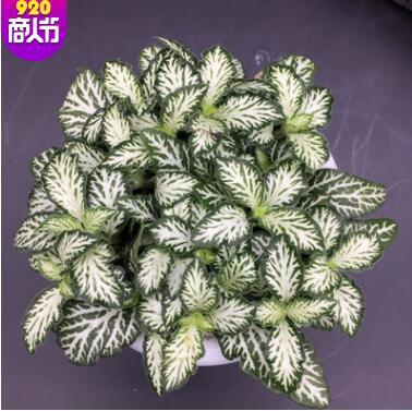 微景观生态瓶雨林缸植物 粉安妮大火焰森林火焰网纹草植物盆栽