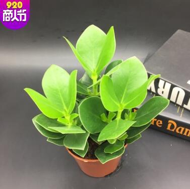 签名树绿植花卉盆栽签名树摇钱树翡翠室内办公室植物净化空气