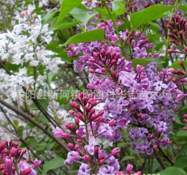 基地供应优质紫丁香苗 庭院 园林种植