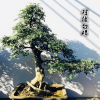 一物一发 精品原生茶梅盆景树桩 高档造型茶梅老桩盆景 下山桩