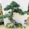 高档精品造型榆树盆景树桩 榔榆树桩盆景 别墅庭院花园摆饰种植