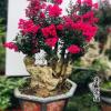 高档精品红花紫薇盆景树桩老桩下山桩 天鹅绒紫薇桩 别墅庭院种植