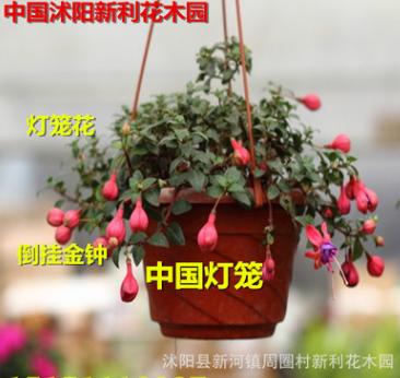 阳台观花绿植花卉植物盆栽倒挂金钟花苗灯笼花苗盆栽花卉植物