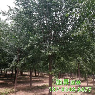 大小规格丝棉木树 现挖现卖景观行道树 绿化丝棉木树价格