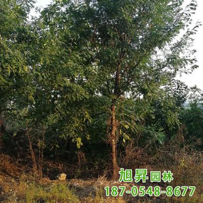 园艺场培育种植出售皂角树截杆发帽皂角树杆直冒圆原生皂角树
