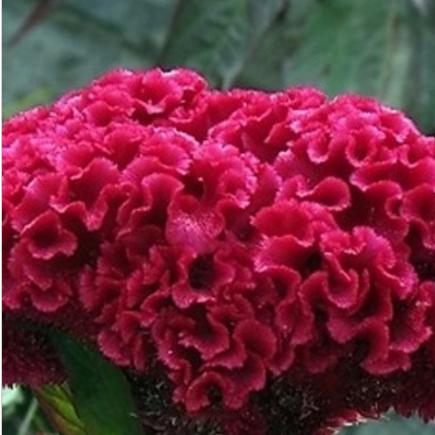 鸡冠花种子 庭院景观绿化专用凤尾鸡冠花籽 火炬鸡冠花白色鸡冠花