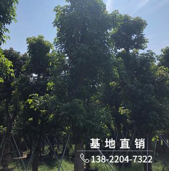 批发精品枫树苗30分行道绿化苗木园林景观工程树风景树厂家直销