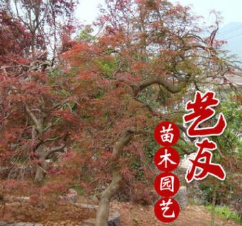 艺友园艺场供应羽毛枫风景观赏树 树型优美 别墅庭院绿化
