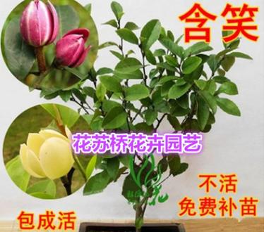 室内盆栽含笑花苗1-3年苗 含笑树苗 含笑花 浓香 美化居室