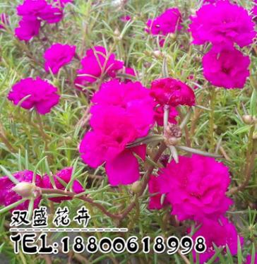 批发供应优质花草种子 太阳花种子 观花植物 质量保证 花卉种子