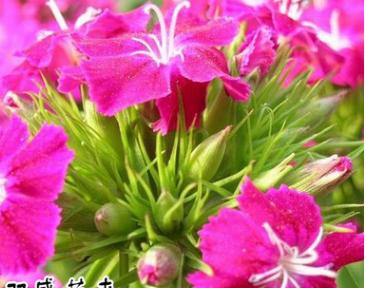 批发美国石竹种子 发芽率高 美国石竹种子价格 保证质量 价格从优