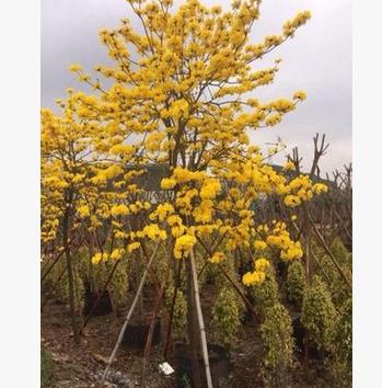 黄花风铃木:胸径12公分 地苗 移植苗大量供应