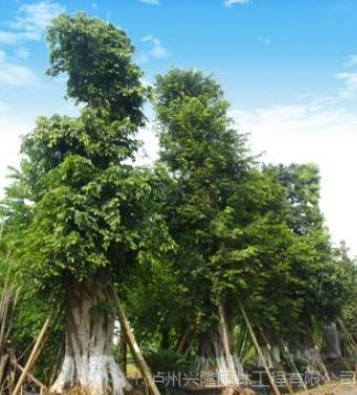 供应大黄葛树,泸州黄葛树,黄葛树苗圃
