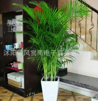 客厅植物散尾葵室内花卉绿植大型盆栽凤尾竹批发