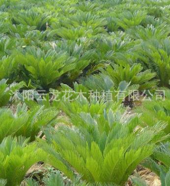 铁树苗批发铁树盆景 工程绿化苗庭院盆栽小苏铁四季常青四季可种