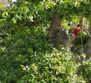 花木之乡榆树桩盆景中小型榆树盆景园林景观榆树 造型榆树 榆树桩